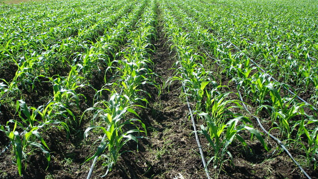 Ver campaña Curso Virtual: Manejo agronómico  del cultivo de maíz amarillo duro en selva