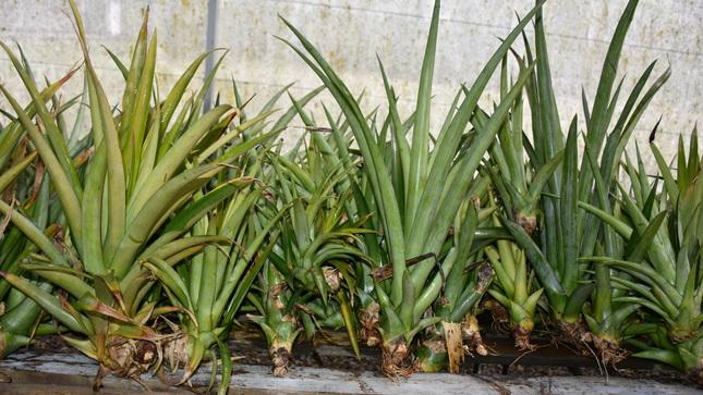 Ver campaña Curso Virtual: Propagación Invitro de Piña (Ananas comosus)