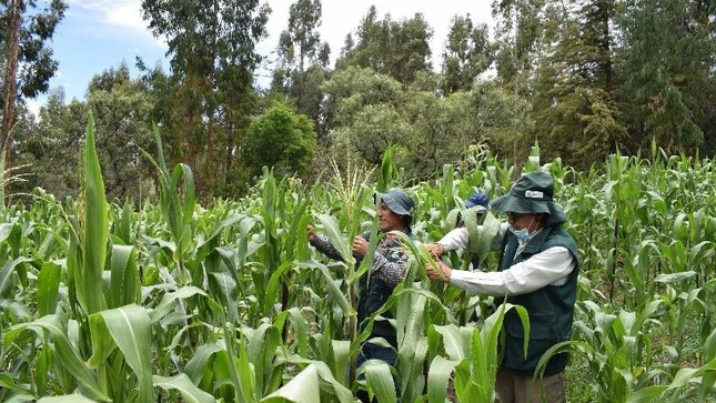 Ver campaña Charla virtual: Buenas practicas agrícolas en maíz amiláceo