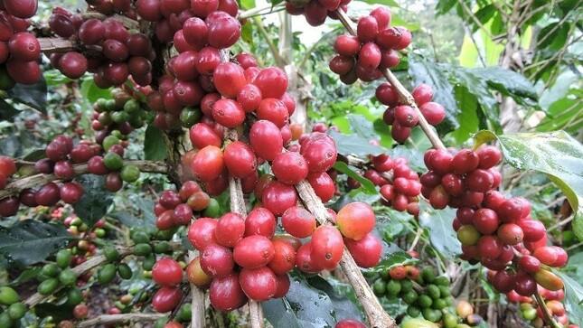 Manejo Integrado del Cultivo de Café en la selva Peruana