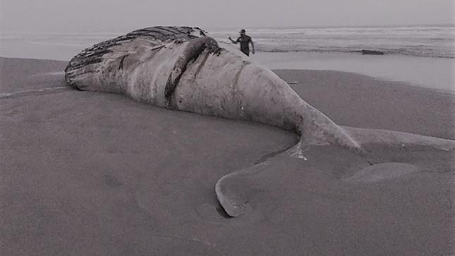 Imarpe registra segundo varamiento de ballena jorobada en la región Lambayeque