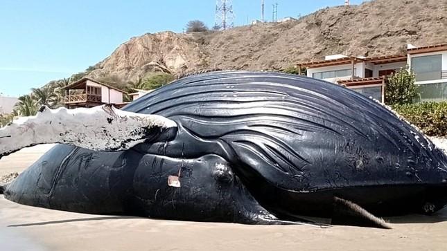 Imarpe registra el varamiento de ballena jorobada en Punta Sal - Tumbes