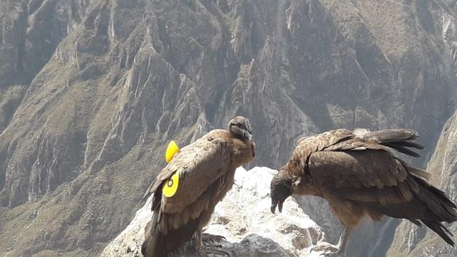 Arequipa: Monitoreo de cóndor andino liberado hace un año demuestra resultados alentadores