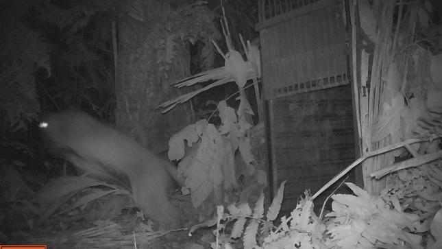 Gobierno Regional de Madre de Dios y SERFOR trabajan juntos para resguardar poblaciones humanas que estarían amenazadas por presencia de grandes felinos