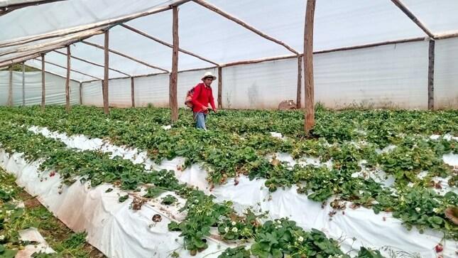Experiencias de FONCODES con cultivos de fresas en fitotoldos y viviendas térmicas calificadas como Buenas Prácticas en Gestión Pública 2020