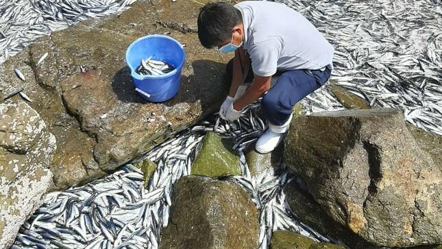 Episodio de acercamiento y varazón de anchoveta en Ancash fue comprobado por Imarpe Chimbote