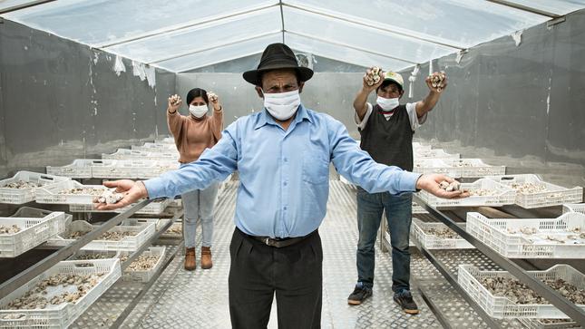 Apurímac: agricultores industrializan su producción de papa convirtiéndola en chuño