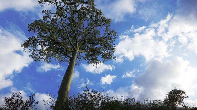 Rumbo al Bicentenario: se inicia en Piura el reconocimiento de árboles patrimoniales