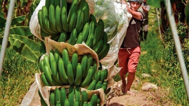 Clúster de Banano Orgánico de Piura impulsado por PRODUCE se perfila como líder en exportación