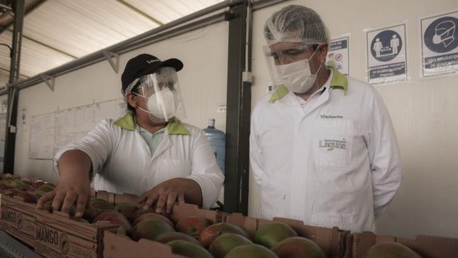 Inicia campaña de exportación de mango en Áncash