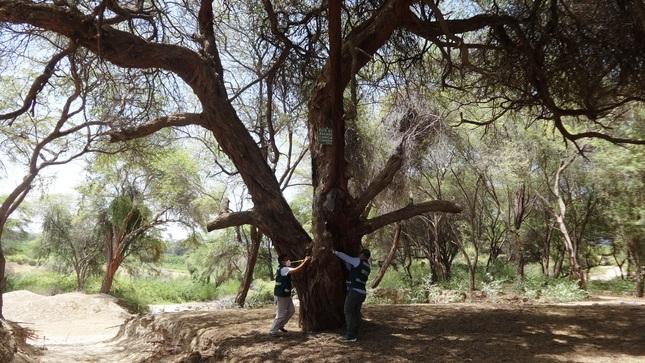 Piura: inician evaluación para el reconocimiento de Árboles Patrimoniales por el Bicentenario