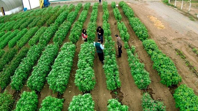 MIDAGRI resguarda conservación genética de 14,500 cultivos oriundos del país para mejorar su calidad nutritiva y comercial