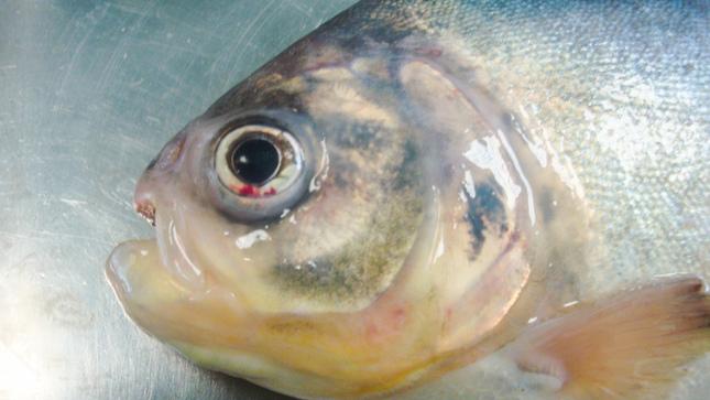 Imarpe desarrollará vacuna para contrarrestar patógeno que afecta a especies amazónicas de importancia acuícola