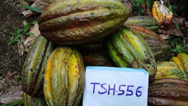 Proponen banco de Germoplasma de Cacao para evaluar las mejores variedades en Cuenca del Rio Putumayo