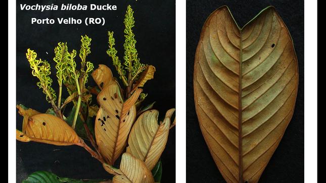 Identificación de Vochysiaceae en la Amazonía Brasileña