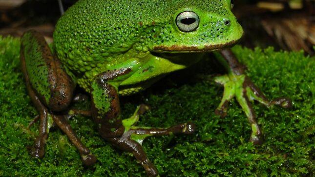 Nueva especie de rana marsupial para la ciencia es descubierta en el Santuario Nacional Cordillera Colán