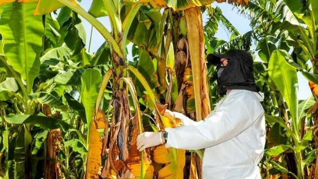 SENASA confirma brote de Fusarium Raza 4 Tropical en Piura