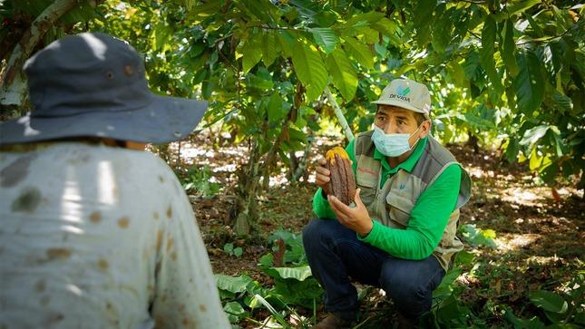 Vraem: Cerca de tres mil productores cacaoteros son asistidos en manejo integrado de plagas en 10 distritos