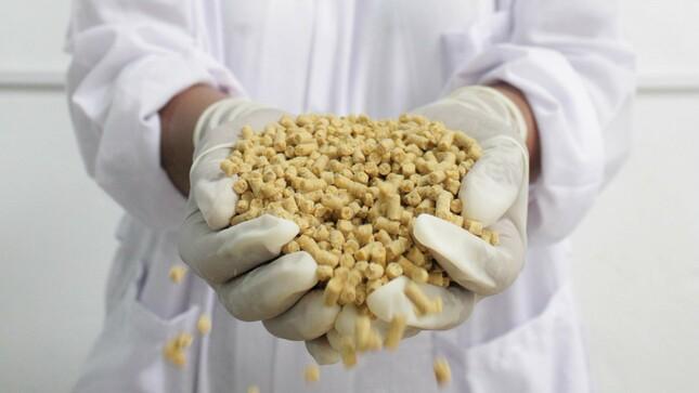 Loreto: Con harina de pijuayo elaboran alimento nutritivo para pollo de engorde