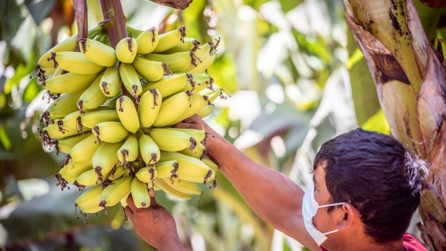 MIDAGRI y productores de banano y plátano  fortalecen acciones de control del Fusarium R4T en Piura