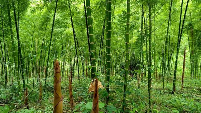 SERFOR elabora instrumento de gestión para orientar e impulsar  el desarrollo del bambú en el Perú
