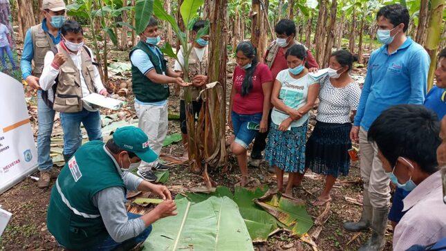 Amazonas: Fortalecen capacidades de productores de plátano en manejo integrado de plagas