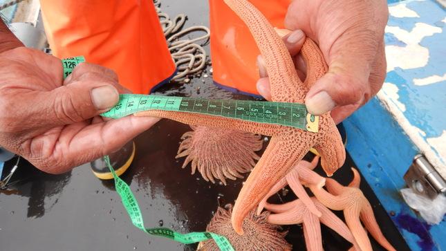 Ilo: Imarpe realiza monitoreo biológico poblacional de invertebrados marinos