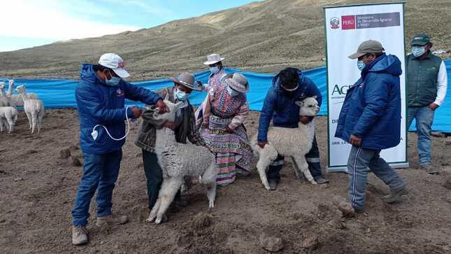 Arequipa: Agro Rural inicia aplicación de antiparasitarios, vitaminas y antibióticos veterinarios para proteger a 180,000 cabezas de ganado