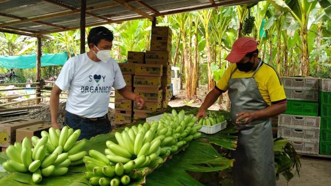 Productores de baby banano orgánico mejoran rentabilidad