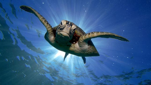 SERFOR celebró el Día Mundial de las Tortugas Marinas con charla informativa e invita a visitar página web