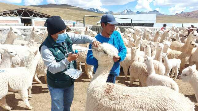 Midagri: Agro Rural inicia proceso de dosificación a 67 mil cabezas de ganado en zonas altas de región Lima