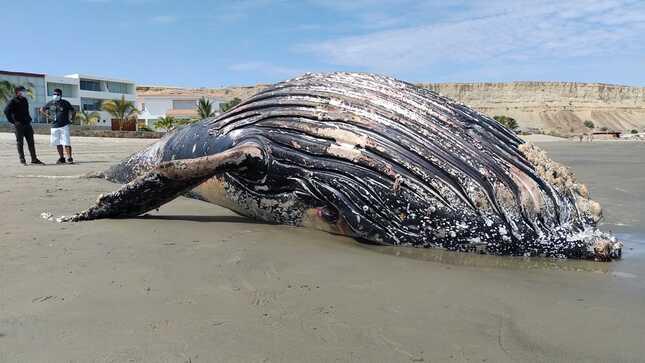 Imarpe atiende varamiento de ballena jorobada en Colán, Piura