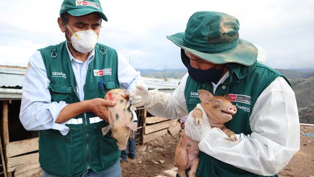 SENASA: Se reduce impacto de la peste porcina en departamentos del sur y oriente del Perú