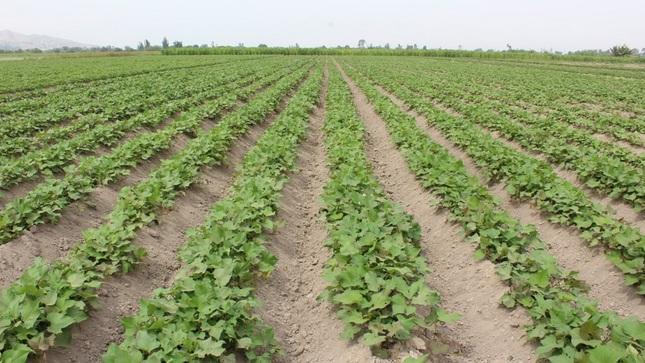 MIDAGRI evalúa nivel de carbono y metales pesados en suelos agrarios, agua para riego y cultivos