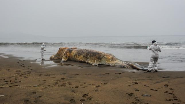 Lima: Imarpe atiende varamiento de ballena jorobada en Ancón
