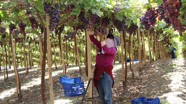 Productores de Moquegua comercializan 60 toneladas de uva Red Globe a Colombia