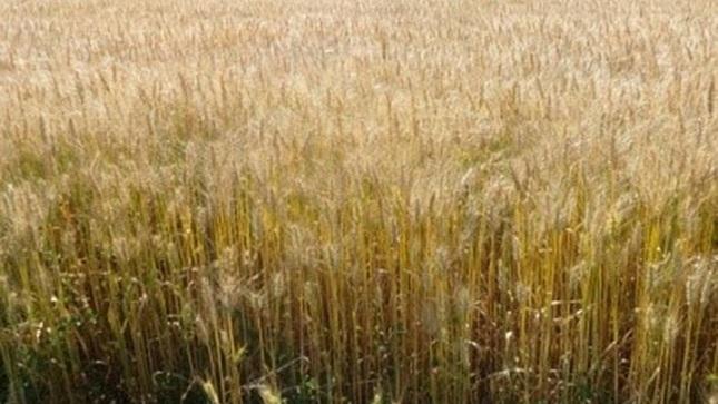 """MIDAGRI presenta nueva variedad de trigo """"INIA 443-ANTAPAMPINO"""" con alta calidad genética"""