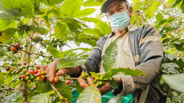 MIDAGRI: Productores de Jaén exportaron 71 mil quintales de café verde a Europa y Norteamérica