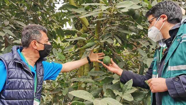 Se aprueban requisitos fitosanitarios para exportar semillas y yemas de palta a Guatemala