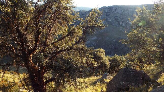 Puno: SERFOR inicia la búsqueda de Árboles Patrimoniales para promover su conservación