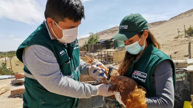Vacunación de aves avanza de manera sostenida para proteger sustento de pequeños productores