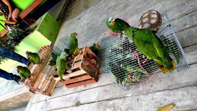 Se evitó el tráfico ilegal de más de 40 especímenes de fauna silvestre en mercado de Yurimaguas