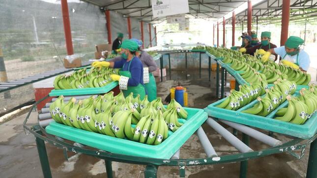 INIA genera tecnología para mejorar la calidad de semilla clonal de banano