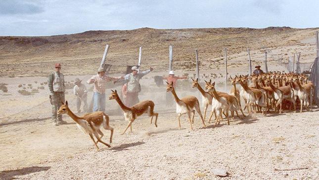En Bicentenario, SERFOR ejecutará en Junín proyecto a favor de la vicuña y las comunidades campesinas