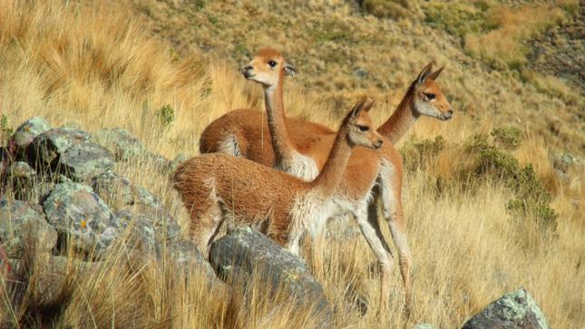Puno: Conforman primer comité de control y vigilancia para enfrentar caza furtiva de vicuñas en frontera Perú-Bolivia