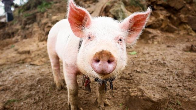 SENASA: Refuerzan medidas para prevenir ingreso de peste porcina africana al Perú