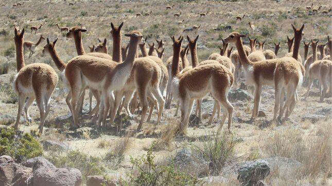 Dra Lima promueve cumplimiento de protocolos y normativas para capturar y esquila de vicuñas en el chaccu 2021 de Yauyos