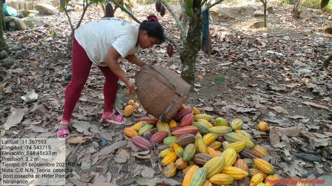 Mejoramiento de Cultivo de Cacao