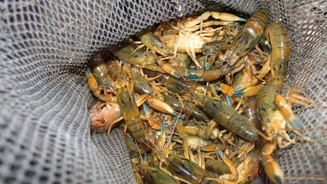 Lima: Imarpe realiza monitoreo anual del camarón en el río Cañete