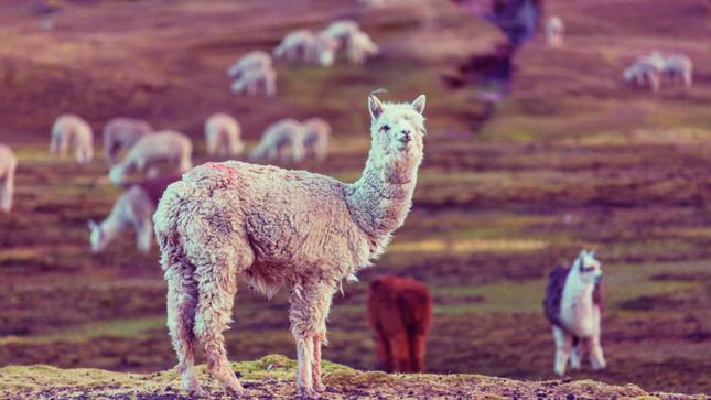 Inacal impulsa buenas prácticas de esquila y manejo del vellón de la fibra de alpaca